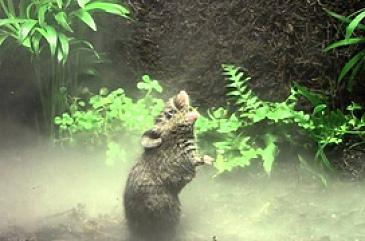 В тропических лесах Коста-Рики и Панамы живут короткохвостые поющие мыши Алстона