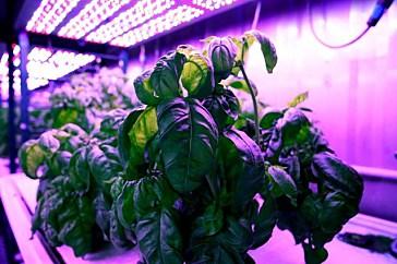 ИИ подбирает условия для улучшения вкуса и других характеристик растений
